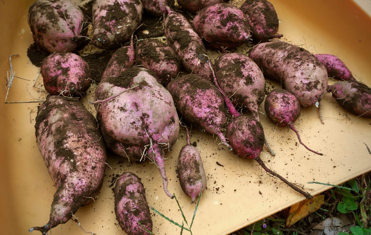 種芋から作った安納芋