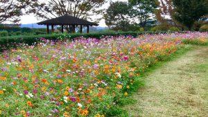戸川公園の秋桜