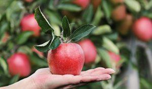 林檎のイメージ画像