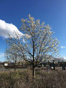 戸川公園の木蓮の花