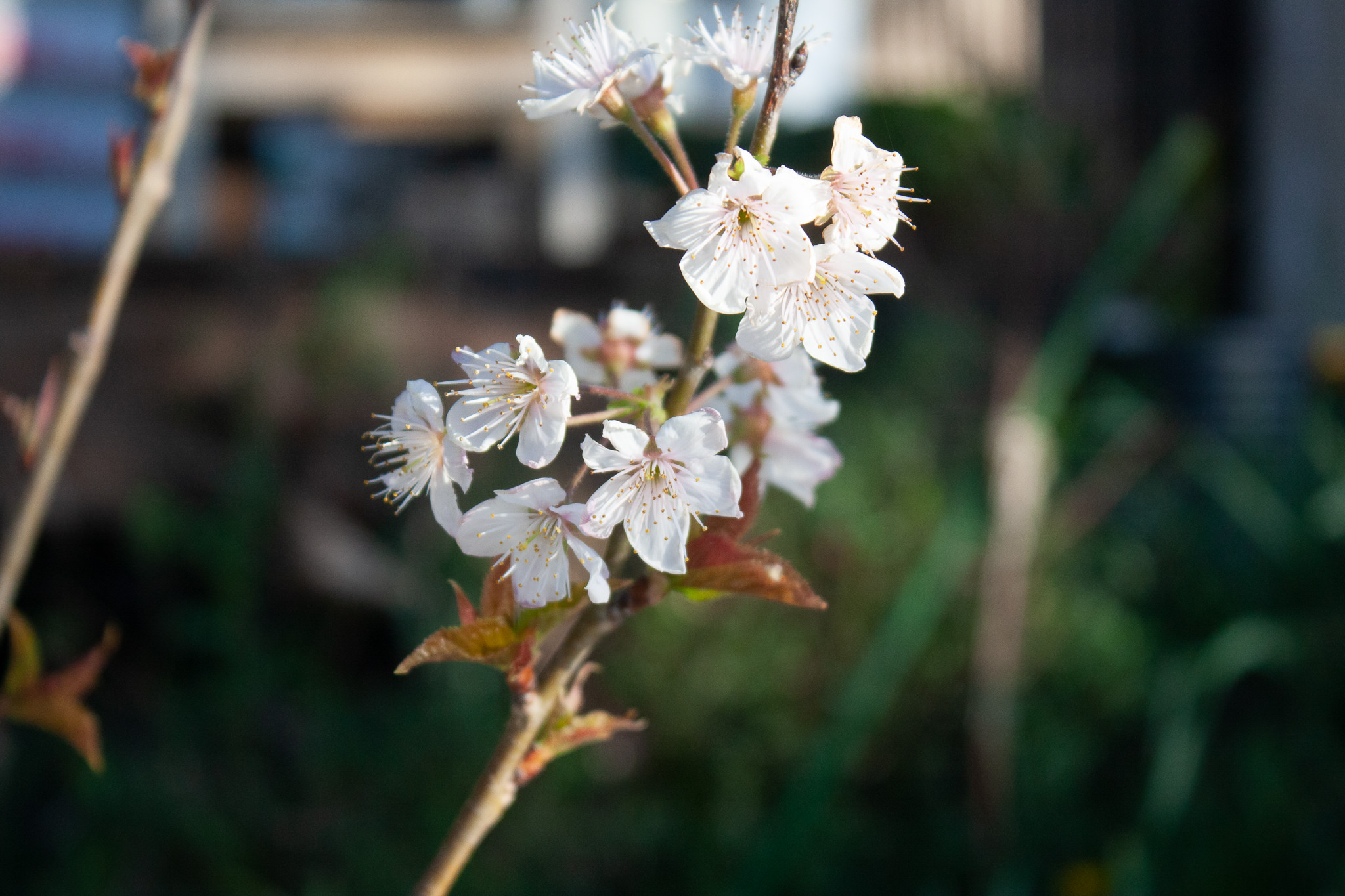 暖地桜桃の花