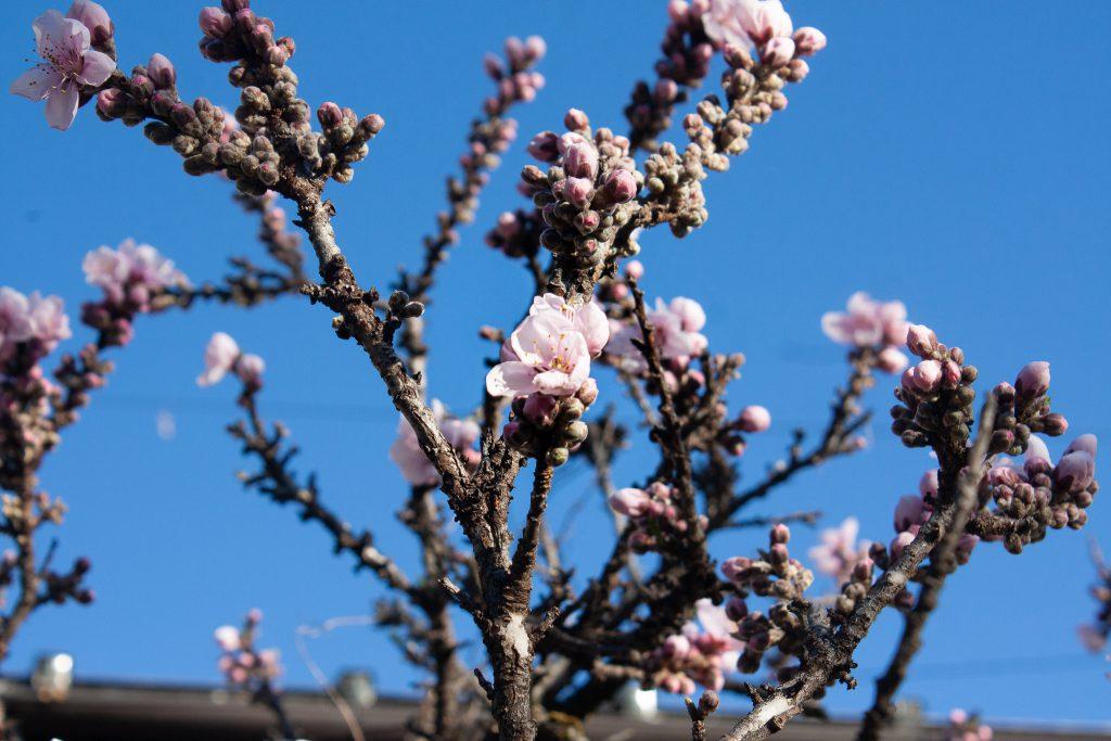 ハナモモ(花桃)の花