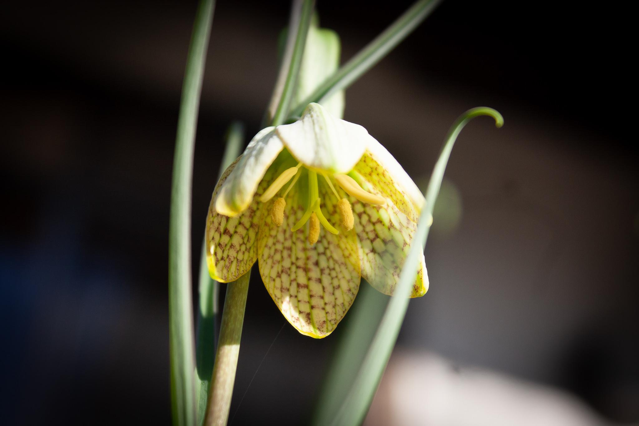 アミガサユリの花