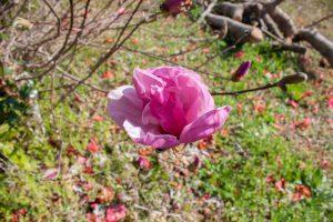 紫木蓮の花