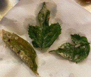 桑の葉と柿の葉の天ぷら